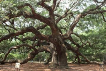 Angel Oak (Pic)